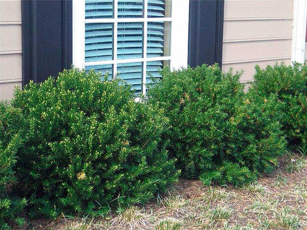 Browns Yew - Taxus Yew Bush